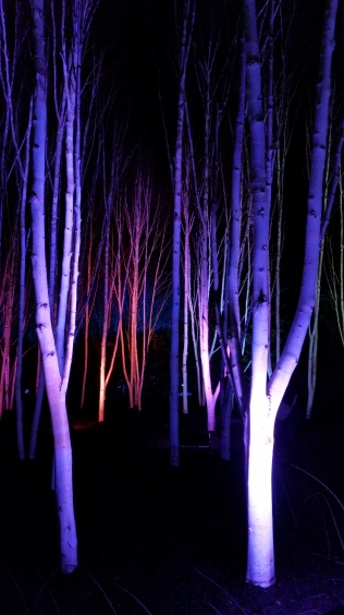 Silver Birch Grove Anglesey Abbey Winter Lights